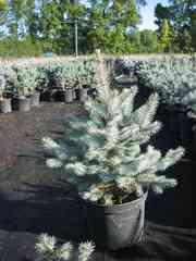 Продаём хвойные растения. Цена прекрасная!
