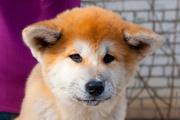 Отличные щенки акита ину (японской акиты)
